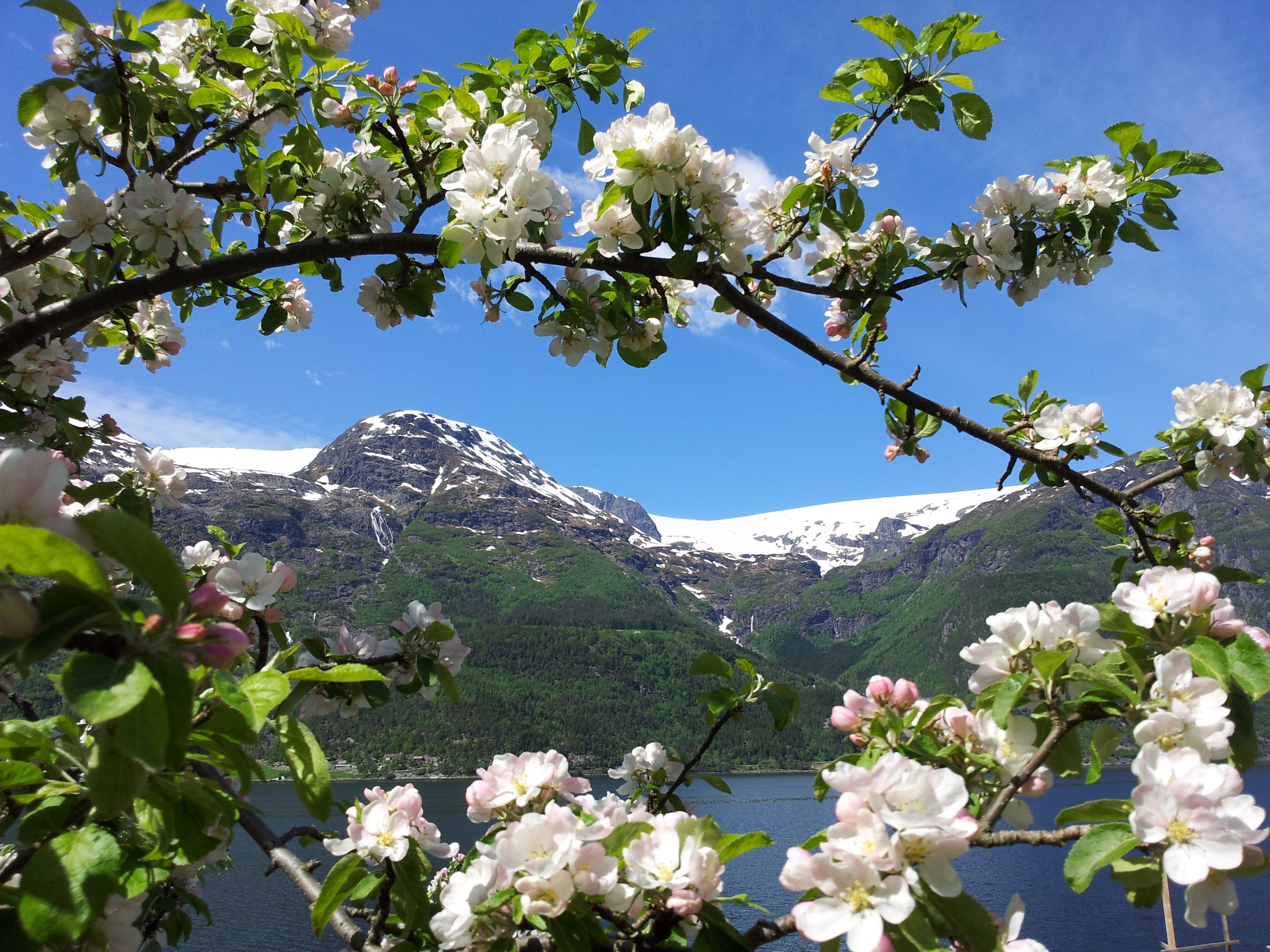 Flowers in bloom in Skjelvik, looking out toward Åsenuten and Folgefonna. - © Anne Gullbjørg Digranes