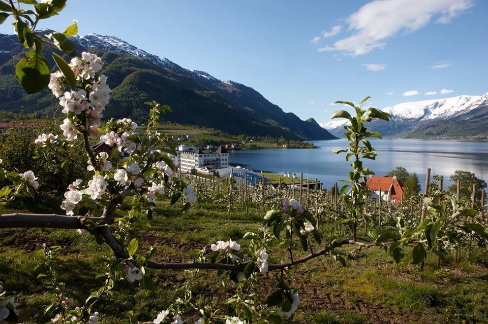 Apple trees in bloom in Lofthus.  © Hotel Ullensvang